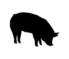 Pig Eats A Silhouette. Bend Down To Eat. Solid Realistic