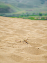 Calm Desert Roundhead Lizard On The Sand In Its Natural Environment. Vertical View.