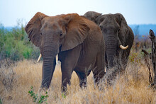 Two Elephants Walking In The Bush, South Africa