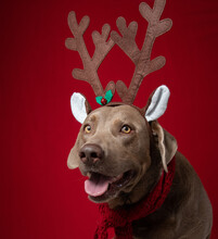 Portrait Of A Silver Labrador Retriever Wearing Christmas Antlers