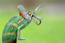 Veiled Chameleon Eating A Dragonfly, Indonesia