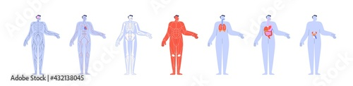 Fototapeta Human body anatomy and its internal structures
