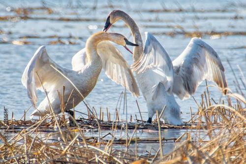 Naklejka premium White swans fighting for the female
