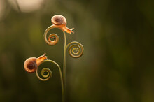 Two Snails On A Spiral Tendril, Indonesia