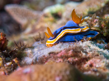 Anna's Chromodoris (Chromodoris Annae) Nudibranch Or Sea Slug Near Anilao, Batangas, Philippines.  Underwater Photography And Travel.