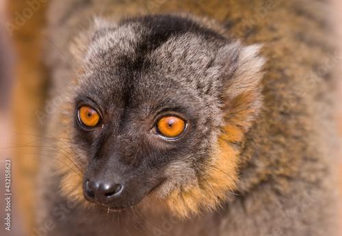 Naklejka premium Mongoose Lemur