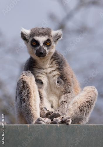 Naklejka premium Ring Tailed Lemur