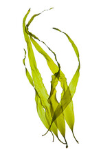 Seaweed Kelp Or Laminaria Seedling Isolated On White Background.
