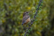 Cactus Wren (Campylorhynchus Brunneicapillus) Tending Her Nest...the Cactus Wren Is The Arizona State Bird, And They Aggressively Defend Their Nest Against Predators