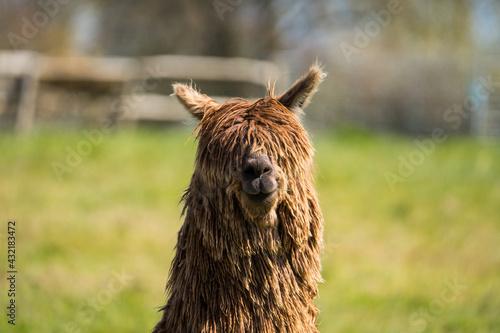 Naklejka premium portrait of a alpaca