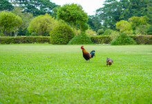 Asian Rooster Bantam Cock Chick Red, Orange Black And Brown Colour On It At The Wide Grass Outdoor Field.