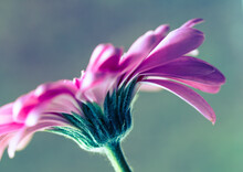 Macro Photo Of Gerbera Flower With Water Drop. Floral Background With Pink Gerbera.