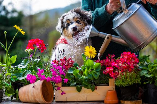 Photo A woman and a cute Australian Shepherd puppy  watering flowers in the garden