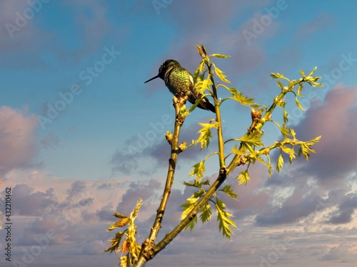 Naklejka premium male Anna's hummingbird is perched on the branch with yellow flowers
