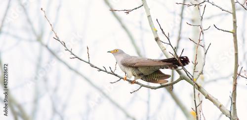 Slika na platnu Cuckoo sitting in its natural habitat on a branch.