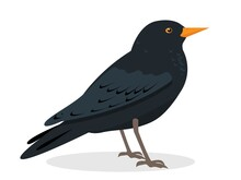 Black Thrush Bird Icon Isolated On White