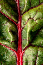 Green Leaves Of Chard With Red Stems And Veins