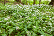 canvas print picture - Wild garlic carpet in forest ready to harvest. Ramsons or bear's garlic growing in forest in spring. Allium ursinum.