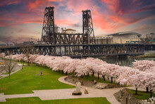 Blooming Flowering Cherry Trees At Sunset In Riverfront Park Along The Willamette River, And The Steel Bridge, In Portland Oregon