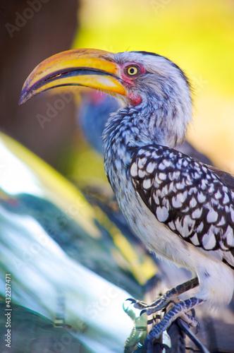 Fototapeta premium Tucan, Bird of Africa. Namibia