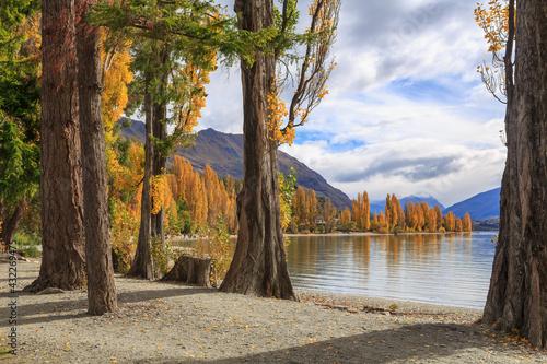 Fototapeta Lake Wanaka, New Zealand, in autumn, surrounded by poplar trees with beautiful g