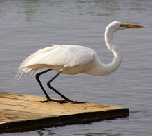 Great Egret Stands Poised To Strike
