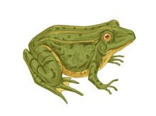 Big Adult Frog. Realistic Green Toad With Bulging Eyes. Amphibian Aquatic Animal Drawn In Detailed Vintage Style. Colored Vector Illustration Isolated On White Background