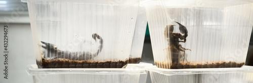 Giant scorpions Heterometrus sp isolated in zoo laboratory, close-up Fotobehang