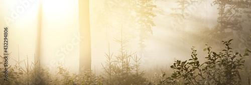 Obraz na plátně Mysterious evergreen forest at sunrise