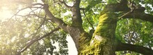 Mighty Deciduous Tree, Close-up, Low Angle View. Wood, Moss Texture, Green Leaves. Soft Sunlight, Sunbeams. Idyllic Summer Landscape. Pure Nature, Environment, Ecology