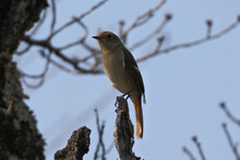 Daurian Redstart Is On The Top Of The Tree, And Facing To The Left Against The Background Of A Blue Sky.