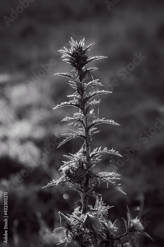 Fotografie, Obraz Black and white image of thistle with frost in morning sun
