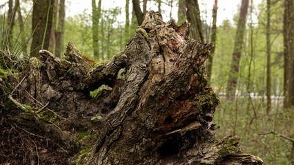 stary zbutwiały korzeń drzewa wśród innych drzew w lesie