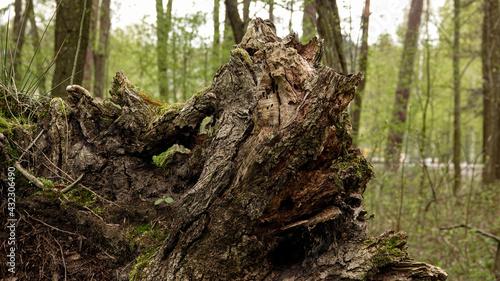 stary zbutwiały korzeń drzewa wśród innych drzew w lesie - fototapety na wymiar