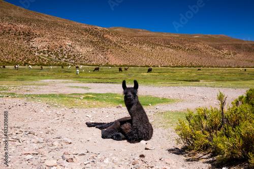 Fototapeta premium Llama on the Altilpano plateau, Bolivia.