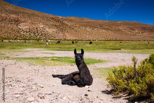 Naklejka premium Llama on the Altilpano plateau, Bolivia.