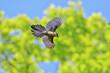 Azure-winged magpie(オナガ)