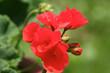 canvas print picture - Rote Blüten - Geranie