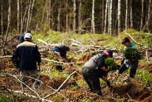 Uniformed Workers Manually Sow Small Tree Seedlings Into The Ground. Reforestation Works After Cutting Down Trees. Coniferous Forest Grown By Man.