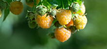 Close Up Of Yellow Raspberry Branch With Ripe Berries In Sunlight.