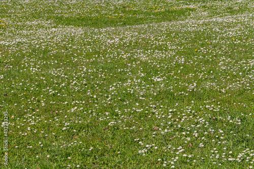 Fényképezés lots of daisy flowers