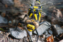 Close-up Dying Yellow Black Dragonfly Crawling To Meet Its Death With Big Brown Eyes
