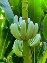 Młode Banany