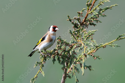 Canvastavla Goldfinch (Carduelis carduelis) in the tree