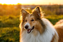 Portrait Of Happy Sheltie In The Park.