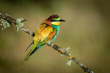 Bee-eater Perched On A Branch With Spring Background