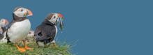 Banner With Seabird North Atlantic Puffins Holding Herring Fish In Its Beak At Faroe Island Mykines, At Blue Sky Solid Background With Copy Space. Concept Of Biodiversity And Wildlife Conservation