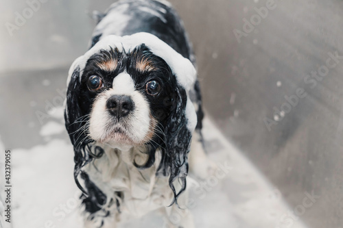 Fotografering Big eyes cavalier king spaniel dog at groomers with foam shampoo and conditioner on his head in a bathtub waiting for the shower