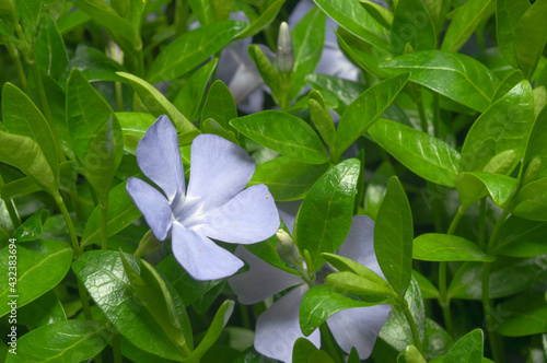 Carpet of blue periwinkle flowers in the meadow of fresh green grass Fototapeta