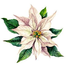 Red Poinsettia Watercolor Illustration Isolated On White.